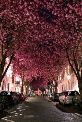 Tree Tunnel Cherry Blossom