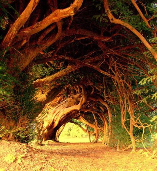 Tree Tunnel Yews