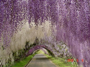 Tree Tunnel Wisteria