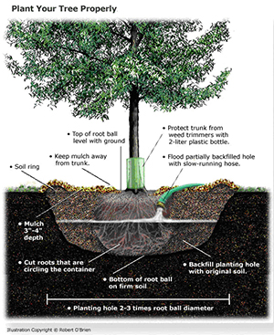 How to plant a tree to go green ecofriendlylink - Fir tree planting instructions a vigorous garden ...